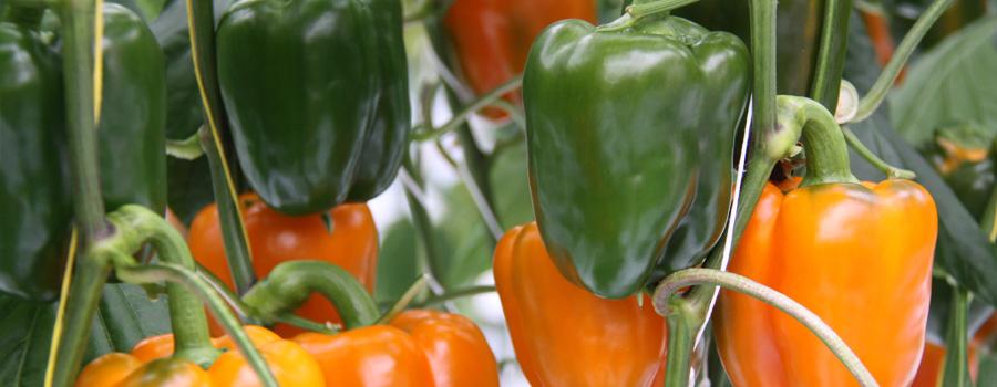 Scherzer Gemüsepaprika
